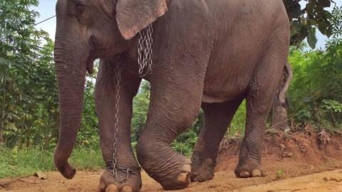 Blessés par des flèches, des éléphants désespérés font un long voyage.