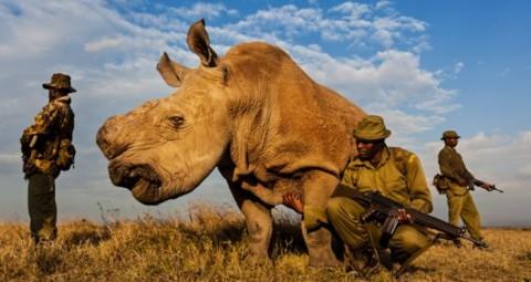 Le dernier rhinocéros blanc du Nord mâle est sous protection armée 24/7
