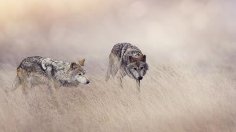 Les deux loups, une histoire amérindienne qui va changer votre vie