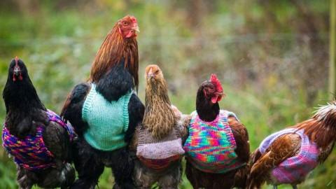 Une femme tricote de petits pulls en laine pour garder ses poules au chaud