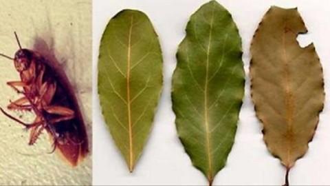 Placez quelques-unes de ces feuilles dans les coins de votre maison et vous ne verrez plus de cafards