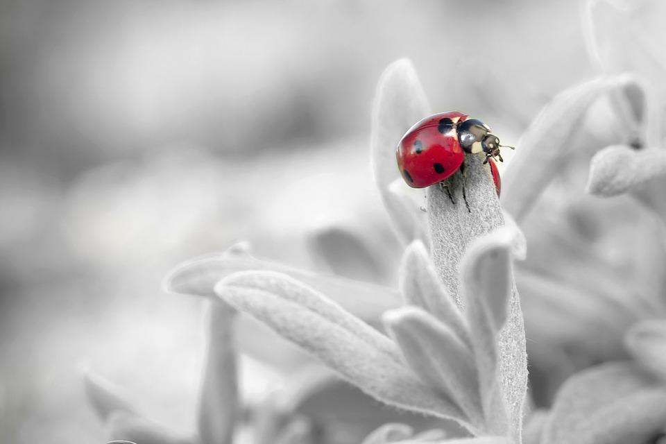 ladybug-796483_960_720.jpg