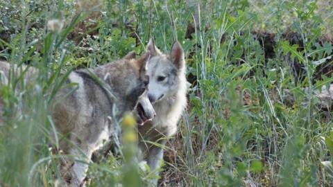 Un chien-loup reste en retrait jusqu'à ce qu'il trouve son véritable amour