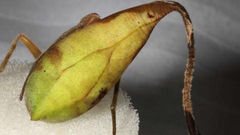Découverte d'une nouvelle espèce d'araignée en Chine qui se camoufle en feuille