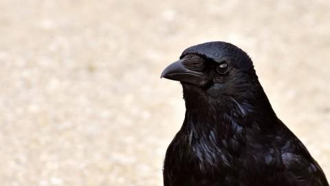 Les corbeaux savent différencier les humains fiables et les tricheurs