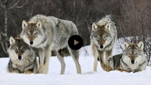 Ils ont relâché 14 loups dans un parc. Mais personne n'était préparé à cela. Ce qui se passe ensuite est un miracle et prouve que nous devons prendre soin de notre merveilleuse planète