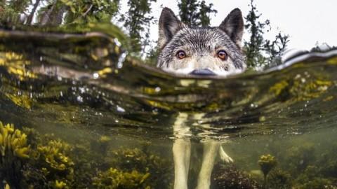 Des loups de mer vivent familier de l'onde et sont capables de ramer pendant contraires heures