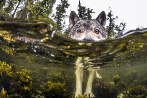 Des loups de mer vivent près de l'océan et sont capables de nager durant plusieurs heures