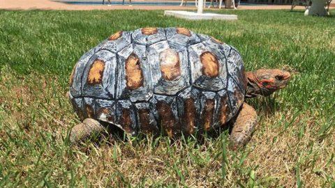 Une tortue blessée a reçu la première carapace faite en 3 D