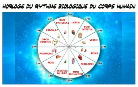 Horloge du rythme biologique du corps humain
