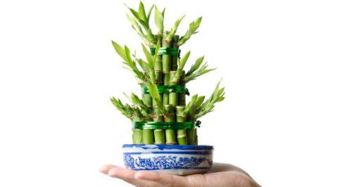 Lucky bambou : la plante porte-bonheur Feng Shui